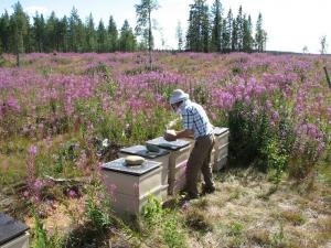 unsere-bienenstoecke-im-norden-finnlands